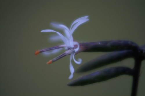 オクモミジハグマ1 (1).JPG