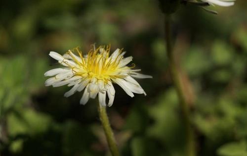 白花タンポポ.jpg